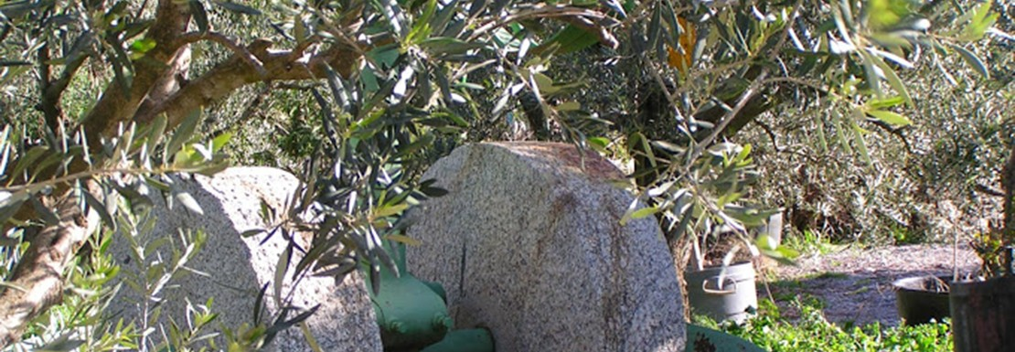 bize olivebis